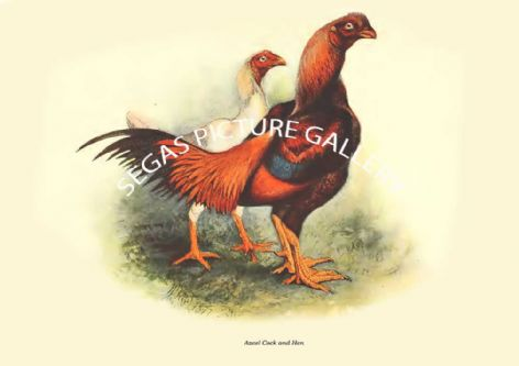Fine art print of the Azeel Cock and Hen by Harrison Weir (1904)